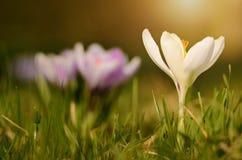 Crocus flower bloom in sunset Royalty Free Stock Photo