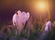 Crocus flower bloom in sunset. Early spring royalty free stock photo