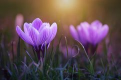 Crocus flower bloom in sunset Royalty Free Stock Images