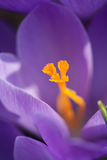 The Crocus flower in bloom Royalty Free Stock Images