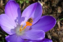 Crocus, Flower, Blossom, Bloom Royalty Free Stock Photos