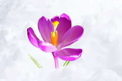 Crocus flower blossom in snow landscape Stock Photos