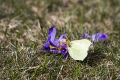 Crocus flower with butterfly Royalty Free Stock Image