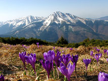 Crocus flower on dry grass in the mountains. Violet and purple saffron, crocus flower among the dry grass, beautiful flowers in blossom in dpring. Carpathian Stock Photo