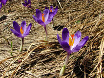Crocus flower on dry grass in the mountains. Violet and purple saffron, crocus flower among the dry grass, beautiful flowers in blossom in dpring. Carpathian Stock Images