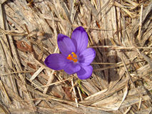 Crocus flower on dry grass. Violet and purple saffron, crocus flower among the dry grass, beautiful flowers in blossom in dpring Stock Photos