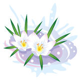 Crocus Flower. The first spring flowers and snow. Vector illustration Stock Photography