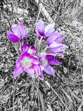 Crocus First Signs of Spring in Alaska Royalty Free Stock Image