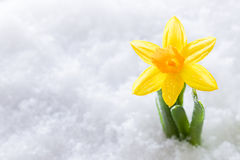 Crocus flower growing form snow. Spring start Stock Photography