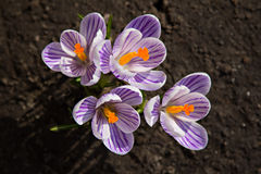 Crocus flower. Growing out of the garound Royalty Free Stock Photos
