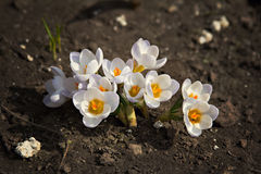 Crocus flower. Growing out of the garound Stock Photos