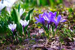 Crocus flower heads Royalty Free Stock Images