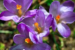 Crocus flower heads Royalty Free Stock Photography