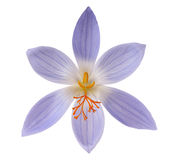 Crocus flower isolated Stock Image