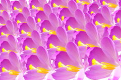 Crocus flower petal closeup Royalty Free Stock Photography