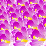 Crocus flower petal closeup Royalty Free Stock Photos