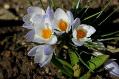 Crocus flower Stock Photography