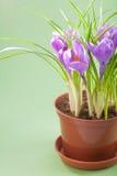 Crocus flower in pot Stock Photo