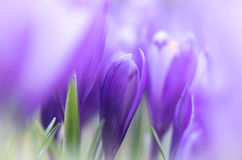 Crocus flower with shallow dof of field in springtime. Royalty Free Stock Image