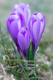 Crocus flower with shallow dof of field in springtime. Stock Image