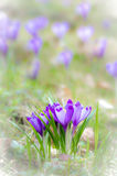Crocus flower with shallow dof of field in springtime. Royalty Free Stock Photos