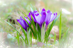 Crocus flower with shallow dof of field in springtime. Stock Photography