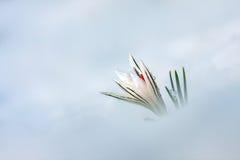 Crocus flower. Crocus flower in the snow Stock Photos