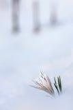 Crocus flower. Crocus flower in the snow Stock Images