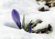 Crocus flower in the snow Stock Images
