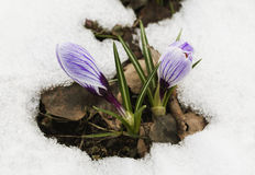 Crocus flower in the snow Stock Photo