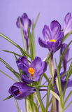 Crocus flower in the spring Stock Photo