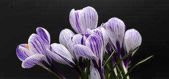 Crocus, Flower, Spring, Nature Stock Photography