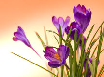 Crocus flower in the spring Royalty Free Stock Images