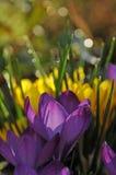 Crocus flower Stock Images