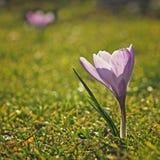 Crocus flower Stock Image