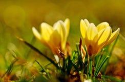 Crocus flower Stock Photography