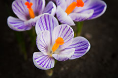 Crocus flower on the sunshine. Crocus flower growing out of the garound royalty free stock photos