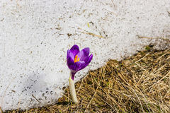 Crocus flower from under the snow Stock Photo