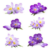 Crocus flower on white background Royalty Free Stock Photography
