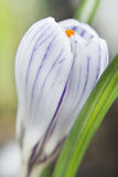 Crocus flower. Stock Photography