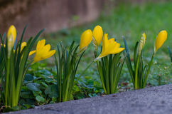 Crocus flowerbed Stock Photography