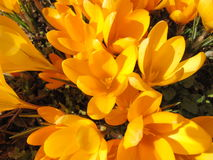 Crocus flowering in early spring. Blooming crocus on the garden ground on a sunny day stock photography