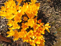Crocus flowering in early spring. Blooming crocus on the garden ground on a sunny day Stock Photo