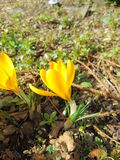 Crocus flowering in early spring. Blooming crocus on the garden ground on a sunny day Stock Images