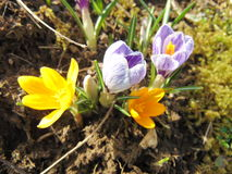 Crocus flowering in early spring. Blooming crocus on the garden ground on a sunny day royalty free stock images