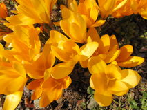 Crocus flowering in early spring. Blooming crocus on the garden ground on a sunny day Royalty Free Stock Photos