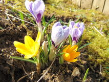 Crocus flowering in early spring. Blooming crocus on the garden ground on a sunny day Royalty Free Stock Image