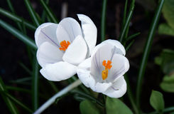 Crocus flowering in garden Royalty Free Stock Photography