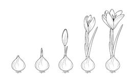 Crocus flowering plant germination from corm bulb. Crocus germination from corm bulb to sprouts to flower. Life cycle phases evolution. Isolated black outline Stock Image