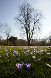 Crocus flowering on spring meadow Stock Photo